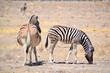 Stepenzebra Namibia