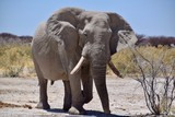 Elefantenbulle - Namibia