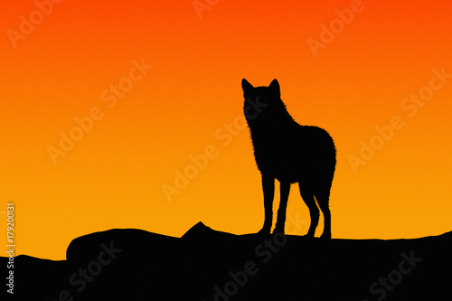 Silhouette of a wolf Poster