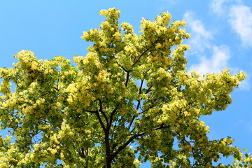 Blooming linden, lime tree in bloom against the blue sky. Used for the preparation of healing tea
