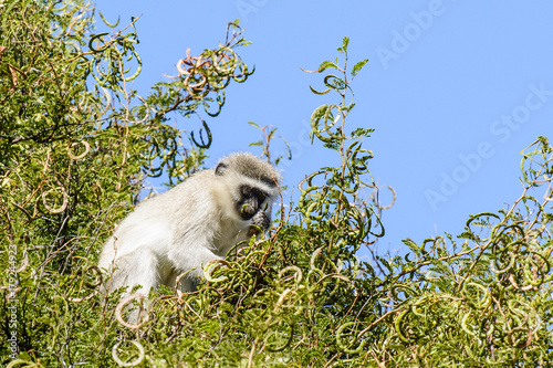 Aluminium Aap Color wildlife outdoor animal close up of a single guenon monkey sitting in a green tree on a sunny day with blue sky, taken in the Camdeboo, Graaff Reinet, Karoo, South Africa