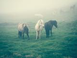 koń islandzki - 179252976