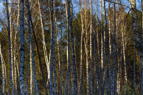 Fotobehang Berkenbos Thundercloud over birch forest