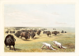 Native indians hunting buffalos under the white wolf skin. Old watercolor illustration. By G. Catlin, publ. on Catlin's North American Indian Portfolio, Ackerman, New York, 1845 - 179265384