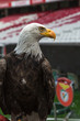 Portrait of an American Bald Eagle inside Soccer Stadium