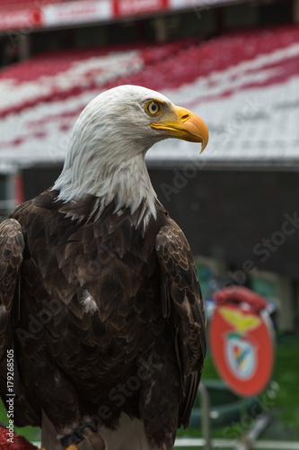 Fotobehang Eagle Portrait of an American Bald Eagle inside Soccer Stadium