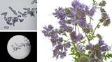 Phacelia tanacetifolia - honey plant for bees - pollen under microscope - 179270377