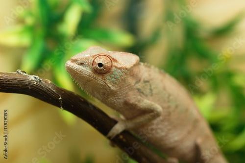 Fotobehang Kameleon Chameleon