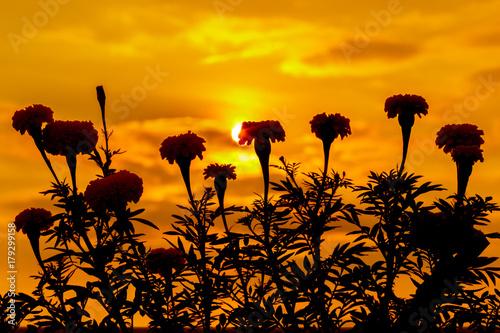 Poster Oranje eclat Marigold flowers silhouette sunset background