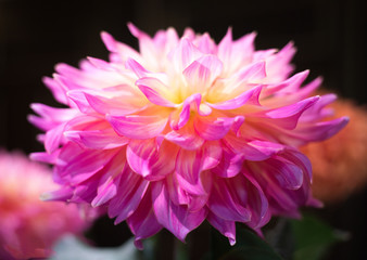 Vibrant Pink and White Dahlia
