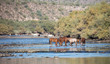 Several bands of wild horses sharing the Salt River in Arizona