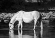Black and white photo of a wild horse drinking on Arizona's Salt River