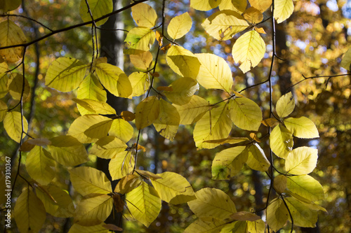 Papiers peints Automne Beech deciduous forest during autumn sunny day, leaves vibrant colors on branches, leaves detail against sun