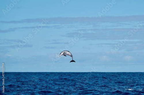 Obraz Spotted dolphin jumping high in the air