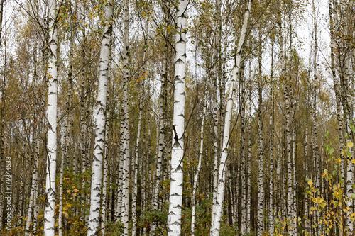 Papiers peints Bosquet de bouleaux Autumn birch