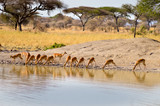 Impalas in a row along a waterhole - 179376536