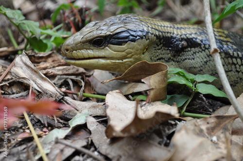 Fotobehang Kikker blue tongue lizard