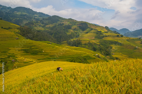 Papiers peints Miel Terrace field rice on the harvest season at bac son valley, lang son province, famous tourist destination in northwest Vietnam and harvest season on september each year