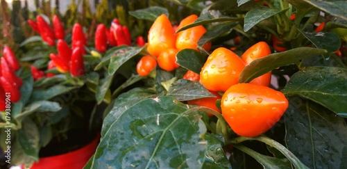 Peperoncini piccanti, rossi e arancioni Poster