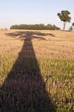 Majestic  oak  shadow on harvested field in evening