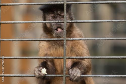 Fotobehang Aap Affe in Gefangenschaft