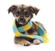 Dog in scarf.
