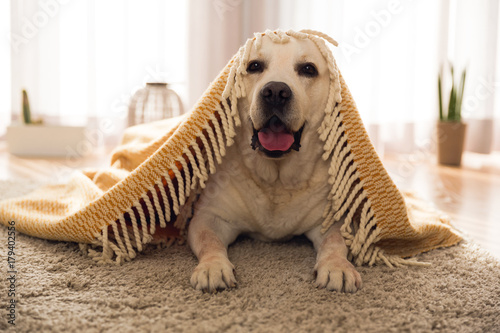 Cute dog at home Poster