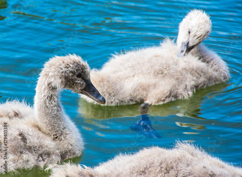 Fotobehang Zwaan Baby swans, cygnets, learning to swim