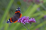 Red Admiral butterfly on a Verbena bonariensis - 179403901