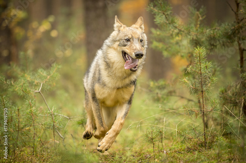 Fotobehang Wolf young wolf into forest