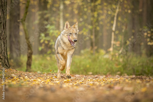 Aluminium Wolf young wolf into forest