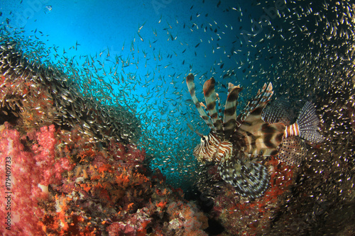 Lionfish fish on underwater coral reef Poster