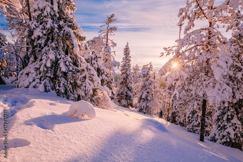 Plexiglas Lichtroze Winter Sunny Landscape with big snow covered pine trees