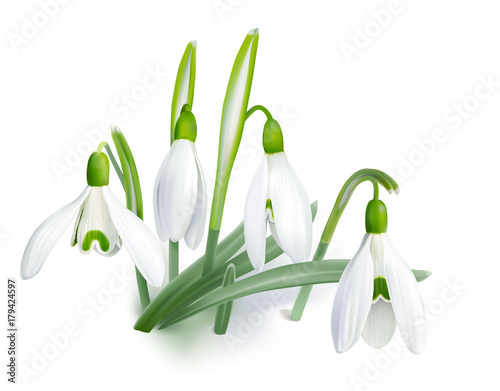 Fototapeta Snowdrop - Galanthus nivalis. Hand drawn vector illustration of delicate white wildflowers piercing the snow.