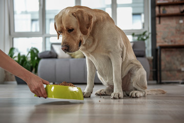 Outgoing labrador watching at meal at home
