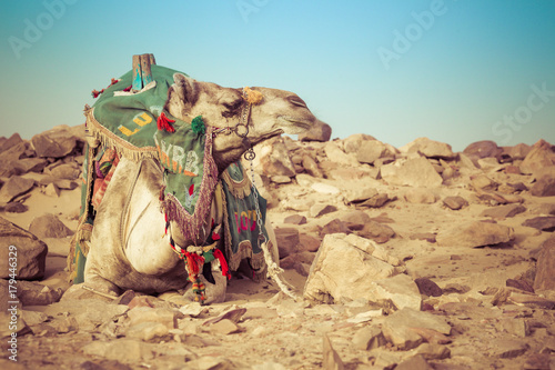 Fotobehang Kameel Camel lay with traditional Bedouin saddle in Egypt