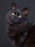 Cute black cat sitting in profile, looking at camera with sleepy eyes on a dark background. Long hair Turkish Angora breed. Adult female.
