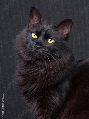 Fotobehang Kat Cute black cat sitting in profile, looking at camera with sleepy eyes on a dark background. Long hair Turkish Angora breed. Adult female.
