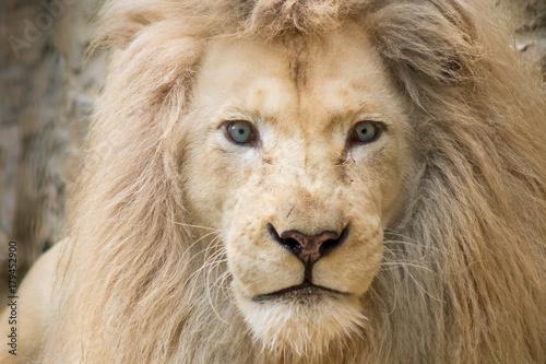 Weißer Löwe Poster