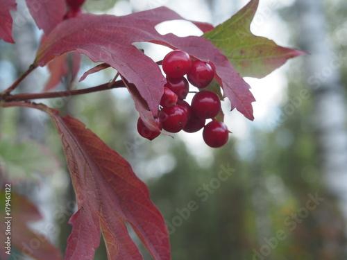 Red berries of viburnum. Ripe berries. Red autumn leaves. Poster