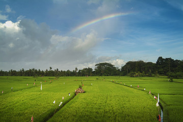 Rainbow Over a Balinese Ricefield. Just after a downpour in the village of Ubud, Bali a rainbow appears and makes everything beautiful.