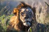 Leone nella Savana  - 179474774