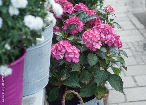 Aluminium Hydrangea Hortensia rose chez le fleuriste