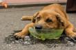 Dog Cools Head in Bucket of ice
