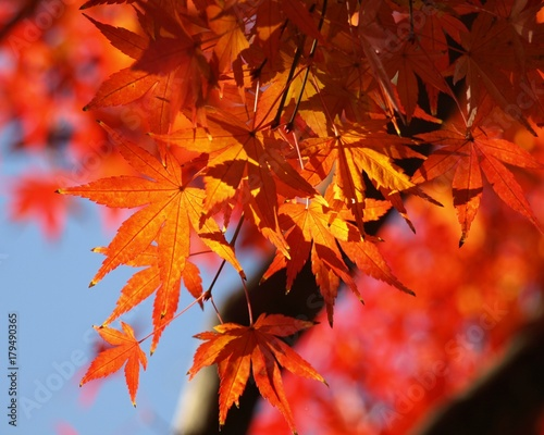 Papiers peints Rouge モミジの紅葉、日本の秋