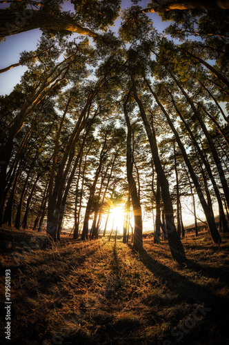 Foto op Plexiglas Chocoladebruin gangneung pine tree forest