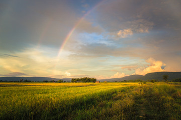 Rice Field and Rainbow