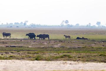 bufali nella savana in zambia con leone leonessa