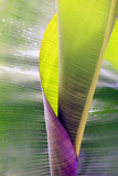 Big rolled up banana leaf with drops close-up - 179507763
