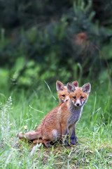 Foxes in the forest in the wild